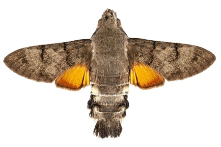 sphingidae: Hummingbird Hawk moth species Macroglossum stellatarum in high definition with extreme focus and DOF (depth of field) isolated on white background Stock Photo