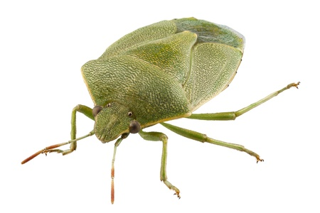 green shield bug: Green shield bug species Palomena prasina in high definition with extreme focus and DOF (depth of field) isolated on white background Stock Photo