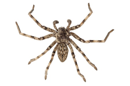 arachnidae: wolf spider lycosa sp in high definition with extreme focus and DOF (depth of field) isolated on white background
