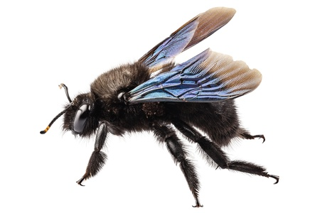 species: violet carpenter bee species xylocopa violacea in high definition with extreme focus