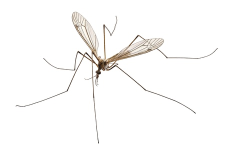 longlegs: Cranefly species Tipula oleracea in high definition with extreme focus and DOF (depth of field) isolated on white background Stock Photo