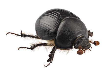 escarabajo: de sondeo Geotrupes especies de escarabajos coprófagos Stercorarius en alta definición con extrema atención y DOF (profundidad de campo) aisladas sobre fondo blanco