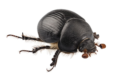 earth-boring dung beetle species Geotrupes stercorarius in high definition with extreme focus and DOF (depth of field) isolated on white background Stock Photo