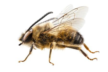 abeja: Bee especies Eucera longicornis nombre com�n solitaria abeja minera en alta definici�n con extrema atenci�n y DOF (profundidad de campo) aislado en fondo blanco