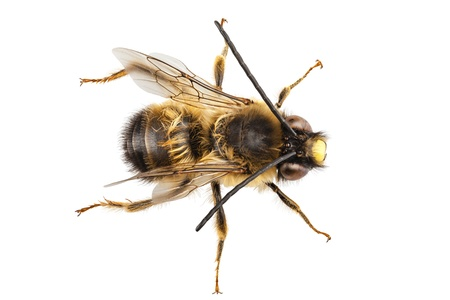 Bee Species Eucera Longicornis Common Name Solitary Miner In High Definition With Extreme Focus And