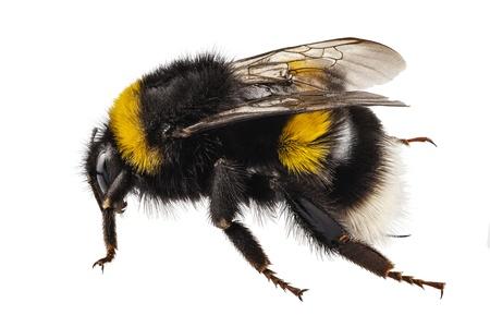 wasp: Bumblebee especie Bombus terrestris nombre com�n cola de buff abejorro o grandes abejorro tierra en alta definici�n con extrema atenci�n y profundidad superficial de campo aislada en el fondo blanco Foto de archivo
