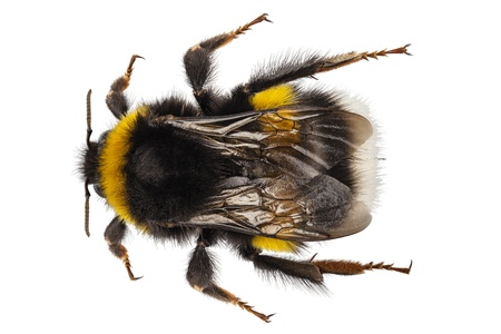 bombus: Bumblebee species Bombus terrestris common name buff-tailed bumblebee or large earth bumblebee  in high definition with extreme focus and DOF  depth of field  isolated on white background