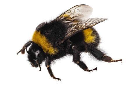 Hummel Bombus terrestris Spezies gemeinsamen Namen Buff-tailed bumblebee oder große Erdhummel in High Definition mit extremen Fokus und DOF (Depth of Field) auf weißem Hintergrund