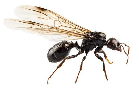 ant: Negro con alas especies de hormigas jardín Lasius Niger en alta definición, con especial atención extrema y el DOF (profundidad de campo) aisladas sobre fondo blanco