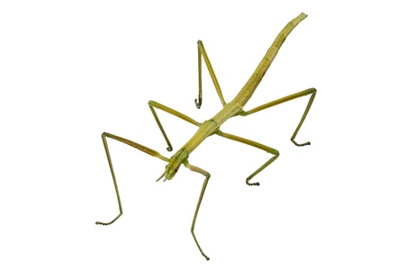 arthropoda: Spanish Walking Stick insect  species Leptynia hispanica  in high definition with extreme focus and DOF (depth of field) isolated on white background
