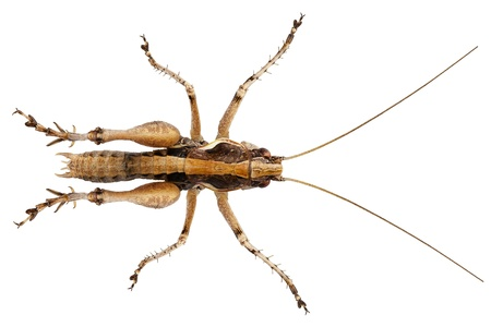 locust: grasshopper with long legs isolated on white background