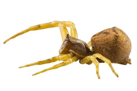 goldenrod spider: goldenrod granchio ragno specie Misumena vatia in alta definizione con estrema attenzione e profondit� DOF di campo isolato su sfondo bianco