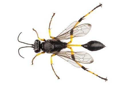 avispa: Wasp barro dauber especies destillatorium Sceliphron en alta definición con extrema atención y DOF (profundidad de campo) aislado en fondo blanco con trazado de recorte Foto de archivo