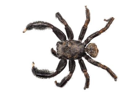 arachnophobia: black spider isolated on white background Stock Photo