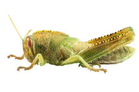 langosta: Locust egipcia aisladas sobre fondo blanco