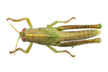 locust: Egyptian Locust species Anacridium aegyptium isolated on white background