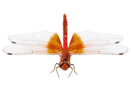 crocothemis: Scarlet Dragonfly isolated on white background  Stock Photo