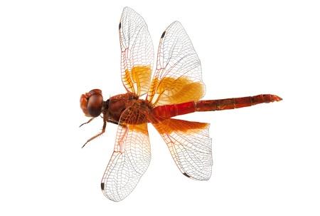 anisoptera: Scarlet Dragonfly isolated on white background  Stock Photo