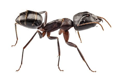 Carpenter Ant isolated on white background