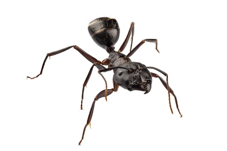 arthropoda: Carpenter Ant species camponotus vagus in high definition with extreme focus and DOF (depth of field) isolated on white background with clipping path