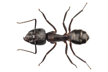 ant: Carpintero Hormiga aislada en el fondo blanco Foto de archivo