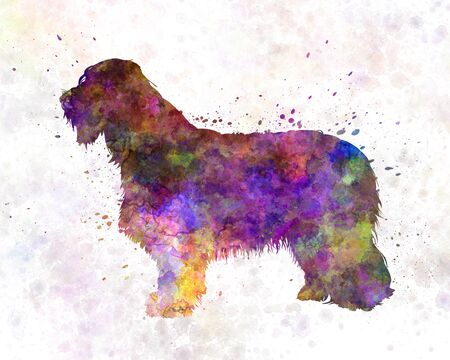 collie: Bearded Collie in watercolor