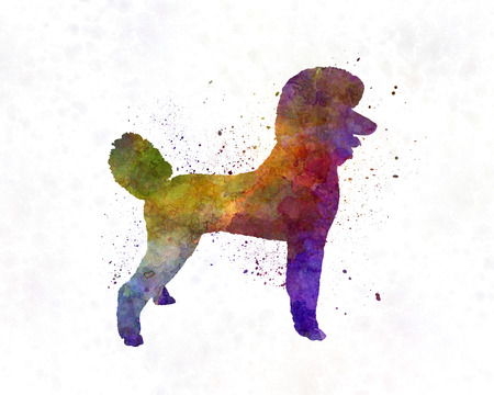 painting on the wall: Poodle in watercolor