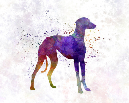 berber: Arabian Greyhound in watercolor