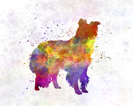 collie: Border Collie in watercolor
