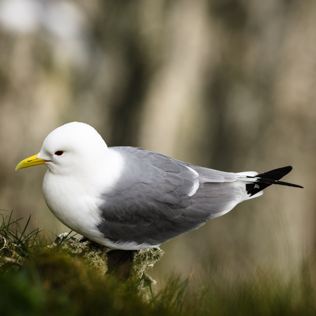 seabird: The kittiwakes are two closely related seabird species in the gull family Laridae, the black-legged kittiwake and the red-legged kittiwake.