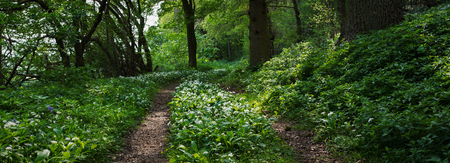 taller: The trees have typically large broad leaves, such as oak, beech and elm. These form the canopy layer. As some light can get through, the vegetation is layered. Beneath the taller trees is a shrub layer. Stock Photo