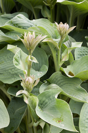 hostas: Hosta is a genus of plants commonly known as hostas, plantain lilies and occasionally by the Japanese name giboshi. Hostas are widely cultivated as shade-tolerant foliage plants.