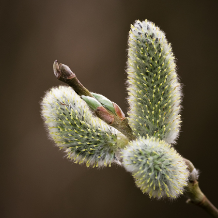 salix: Pussy willow is a name given to many of the smaller species of the genus Salix when their furry catkins are young in early spring Stock Photo