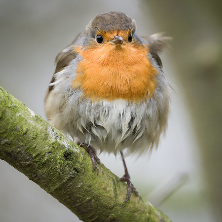 insectivorous: The European Robin, most commonly known in Anglophone Europe simply as the Robin, is a small insectivorous passerine bird
