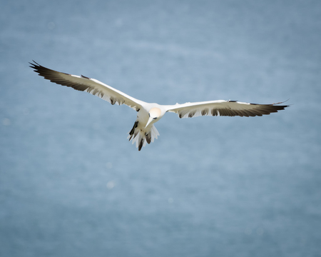 boobies: Gannets are seabirds comprising the genus Morus, in the family Sulidae, closely related to boobies. Stock Photo