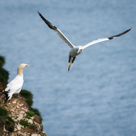 comprising: Gannets are seabirds comprising the genus Morus, in the family Sulidae, closely related to boobies. They have a maximum lifespan of up to 35 years. The gannets are large white birds with yellowish heads; black-tipped wings; and long bills.