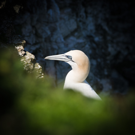 Gannets are seabirds comprising the genus Morus, in the family Sulidae, closely related to boobies. They have a maximum lifespan of up to 35 years. The gannets are large white birds with yellowish heads; black-tipped wings; and long bills.
