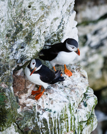 fratercula: Puffins are any of three small species of alcids in the bird genus Fratercula with a brightly coloured beak during the breeding season. These are pelagic seabirds that feed primarily by diving in the water.