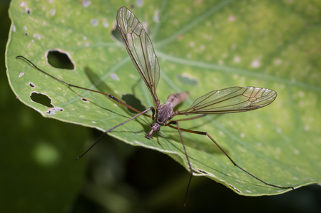 tipulidae: The crane fly is a member of the family of insects in the order Diptera, also known as the Gallynapper, Daddy longlegs or Mosquito Hawk, the true flies in the superfamily Tipuloidea. This page is about Tipulidae sensu stricto. Stock Photo