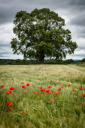 north yorkshire: A field of barley with some poppies and dark clouds, North Yorkshire, UK.