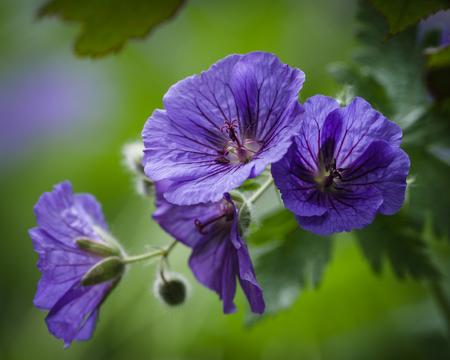 plants species: Geranio è un genere di 422 specie di piante annuali, biennali e perenni di fioritura che sono comunemente noti come cranesbills Archivio Fotografico