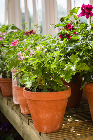 perennials: Pelargonium ?p?l?r??o?ni?m is a genus of flowering plants which includes about 200 species of perennials, succulents, and shrubs, commonly known as geraniums Stock Photo
