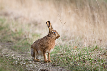 Hares and jackrabbits are leporids belonging to the genus Lepus.