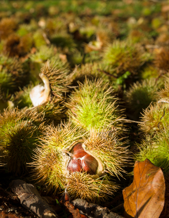 castanea sativa: Sweet chestnut (Castanea sativa) is a deciduous broadleaf tree native to southern Europe, western Asia and north Africa.  It was probably introduced by the Romans and has naturalised in the UK. It thrives in warm conditions and is therefore more prevalent