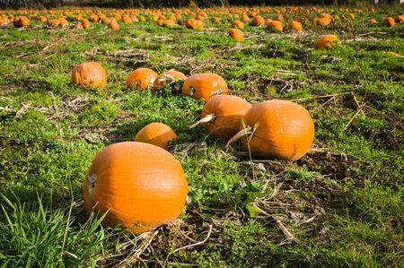 Field of pumpkins Stock Photo