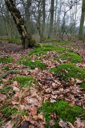 Mossy British woodland. Stock Photo