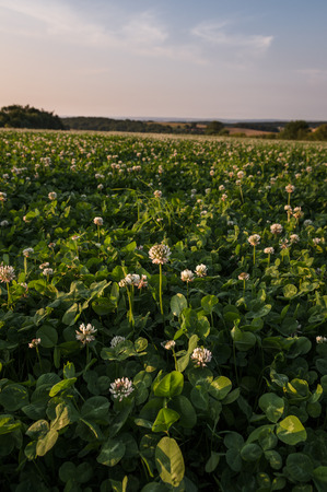 trillium: Field of clover in soft summer evening light