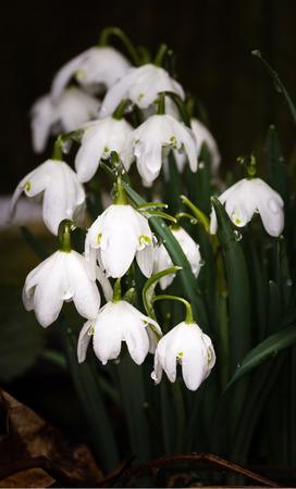 plants species: Galanthus è un piccolo genere di circa 20 specie di piante erbacee perenni bulbose in famiglia Amaryllidaceae. La maggior parte di fiori in inverno, prima che l'equinozio di primavera, ma certo fiore specie in primavera e tardo autunno. Wikipedia nam scientifica Archivio Fotografico