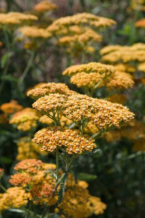 Achillea is a group of flowering plants in the family Asteraceae described as a genus by Linnaeus in 1753.