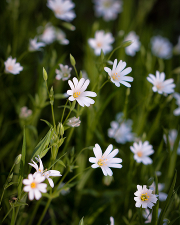 Stellaria holostea, the addersmeat or greater stitchwort, is a perennial herbaceous flowering plant in the carnation family Caryophyllaceae.